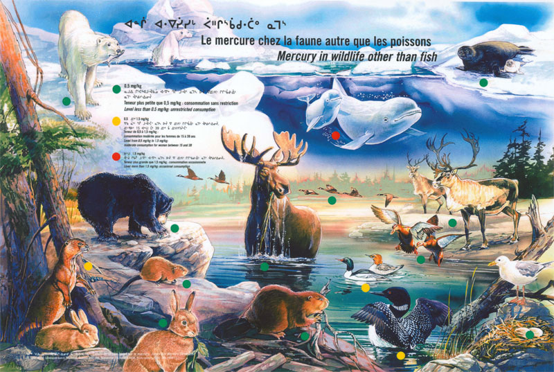 This poster shows the mercury levels in the various wildlife species consumed by the Crees, including beluga, seal, bear, beaver, caribou and ducks.